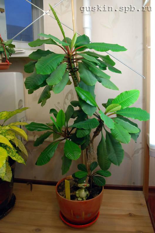 Продам вазон Молочай Беложилковый (Euphorbia) .